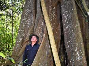 Impossible to see where it ends: Kyogle's huge fig tree