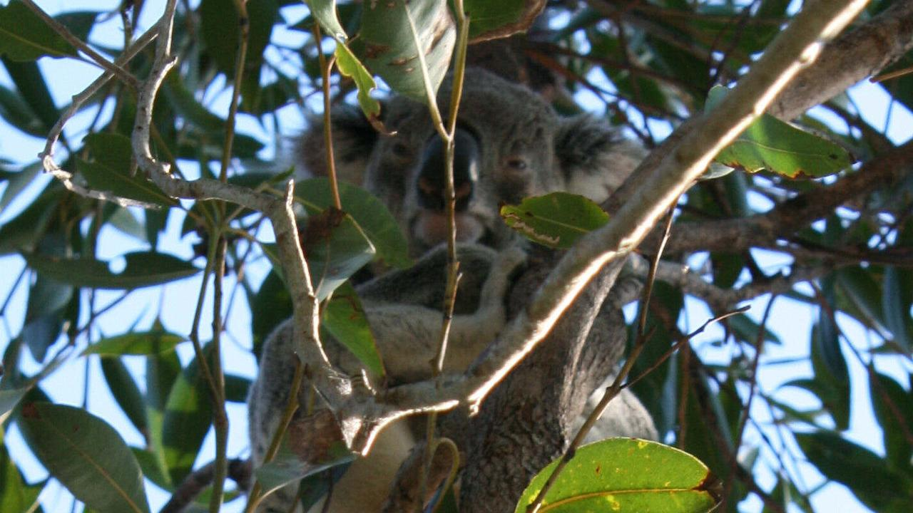 VULNERABLE: A koala looks down from its eucalypt perch in the Noosa Headland section of Noosa National Park. Photo: Contributed