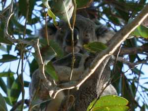 Council points to thousands pledged for koala black spots