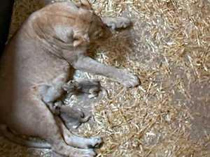 Lioness eats her newborn cubs alive