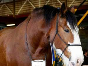 'Incredibly traumatic': Ekka horse unexpectedly dies