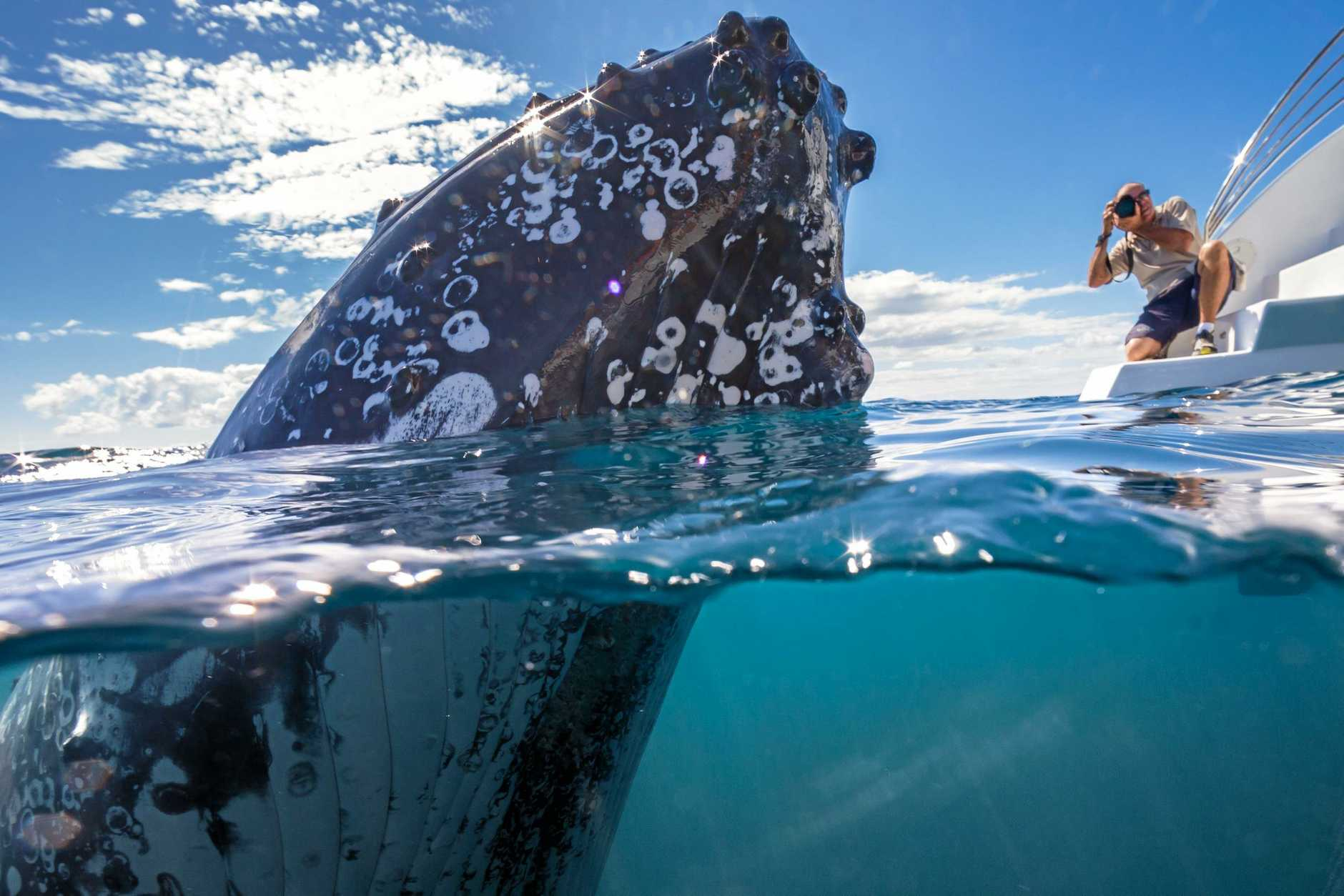 WINNING SNAP: This photo of curious humpback whales in Hervey Bay has taken out a national photography award.