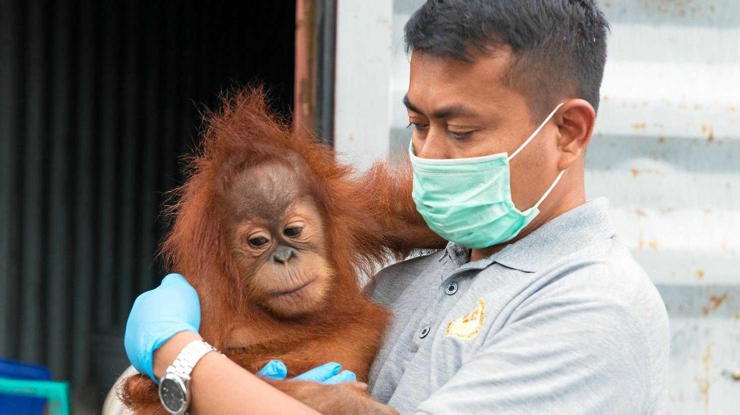 SAVING GRACE:  Panut Hadisiswoyo with one of the rescued orangutans.