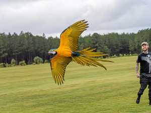 'Designed to fly': The macaw that always flies back