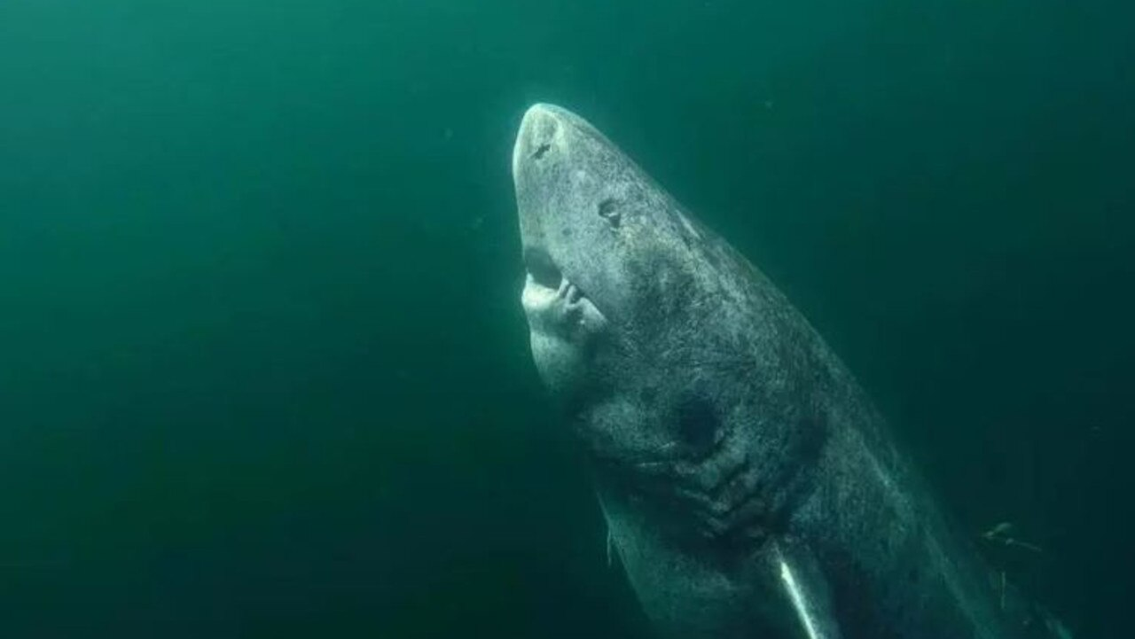 Greenland sharks are known for their longevity, living for hundreds of years. Picture: @JUNIEL85