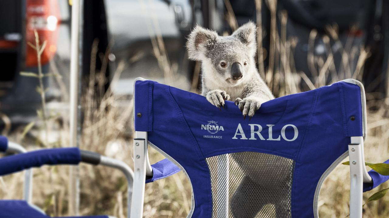 Arlo the koala, from Wildlife HQ, is featured in an NRMA Insurance TV commercial. Photo: Contributed