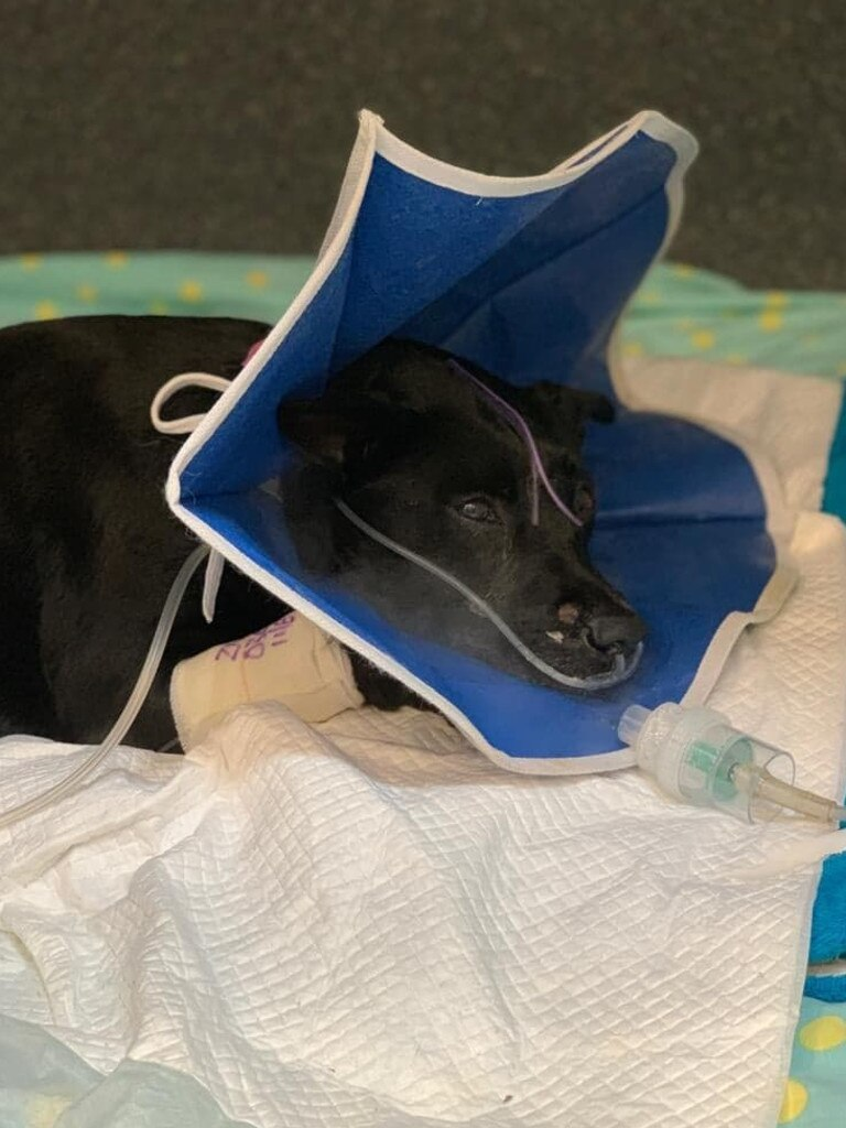 Henrietta, aka Henry, the kelpie cross, in intensive care at the Animal Emergency Service in Underwood after surviving a house fire on Saturday. Picture: AES