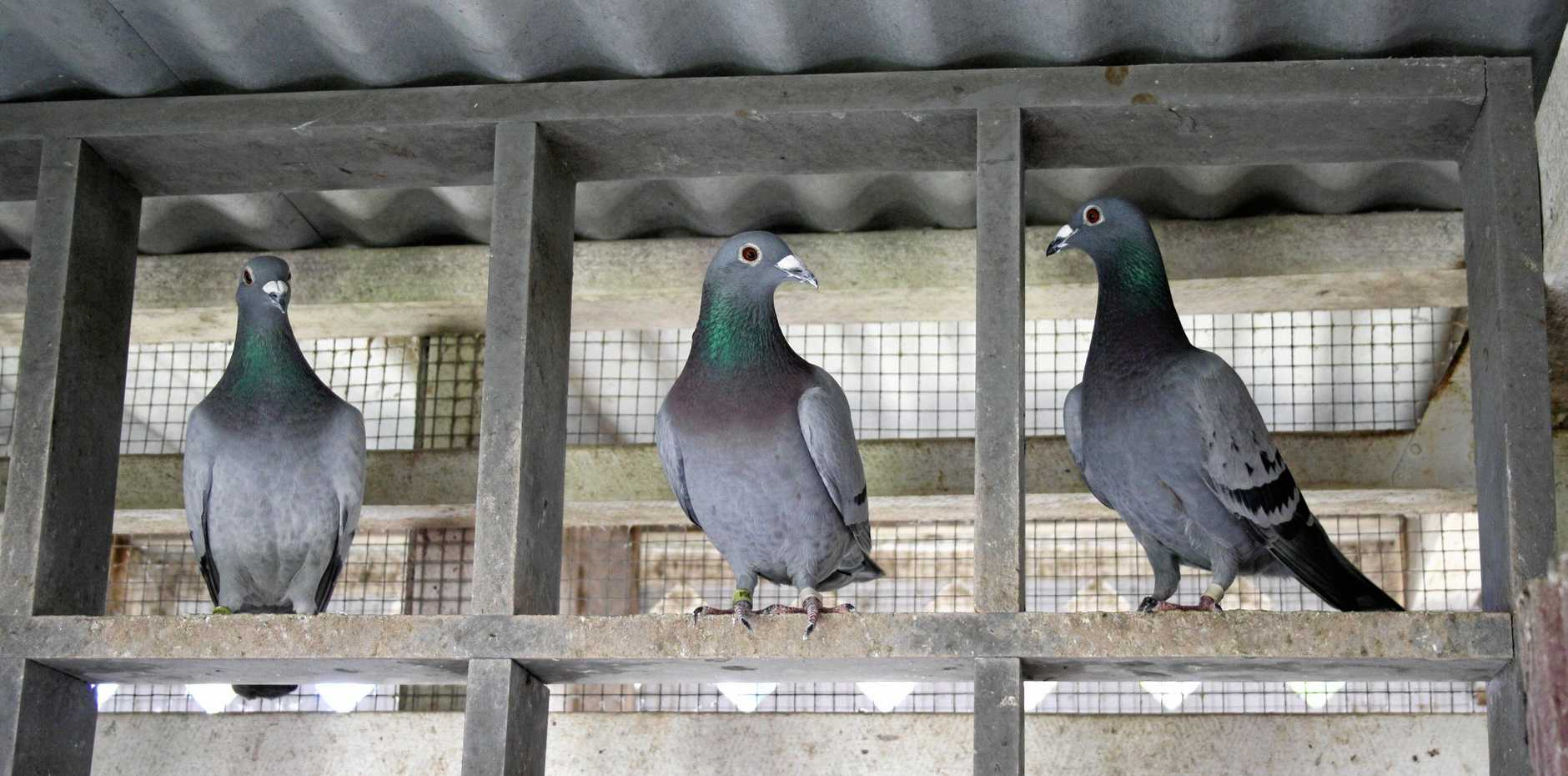 COO COO: Two levels of government have been at loggerheads over leasing arrangements and a pigeon problem.