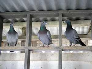 State department and council butt heads over pigeon problem