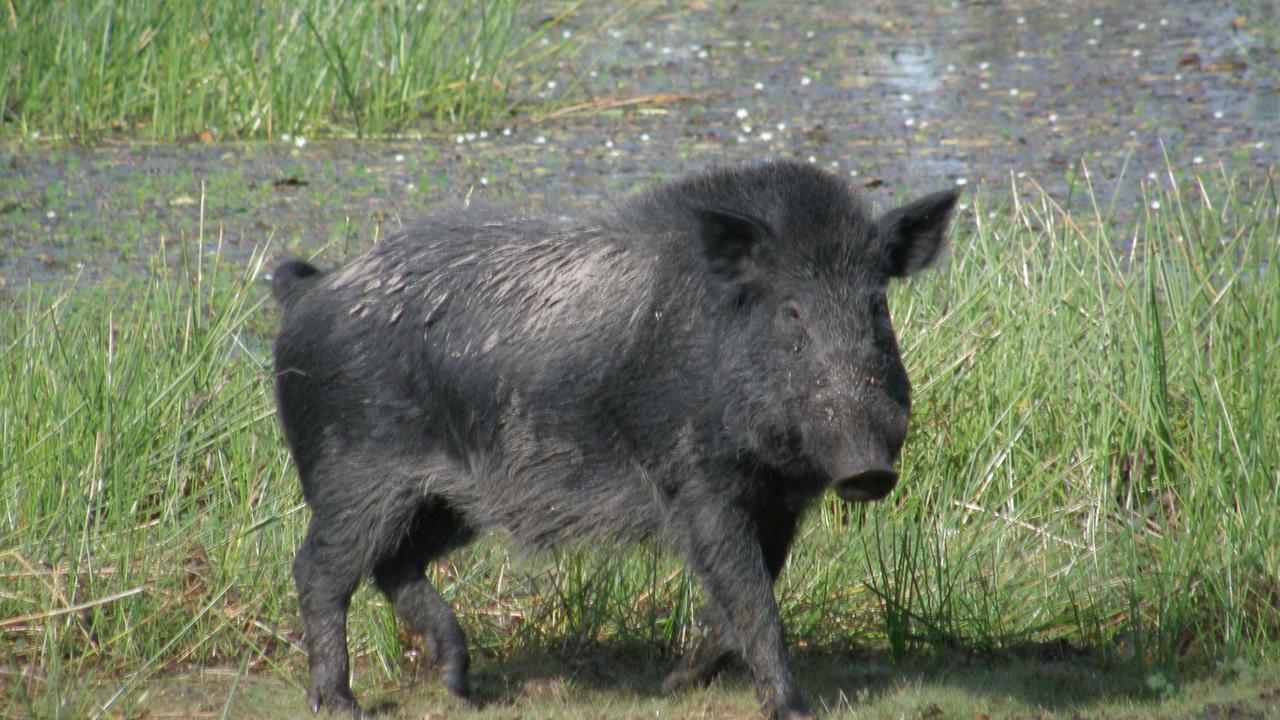 Wild pigs are posing a danger to Townsville motorists.