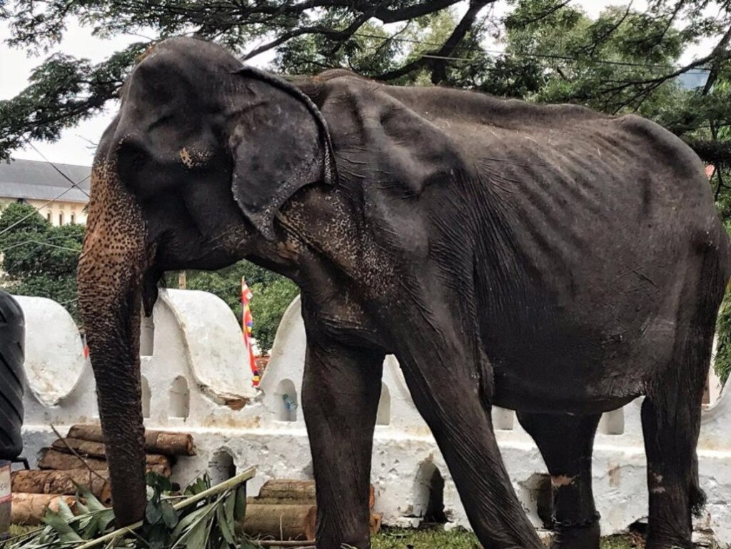Starving Tikiri is one of 60 elephants working at a festival in Sri Lanka despite being in poor health. Picture: Lek Chailert/Save Elephant Foundation