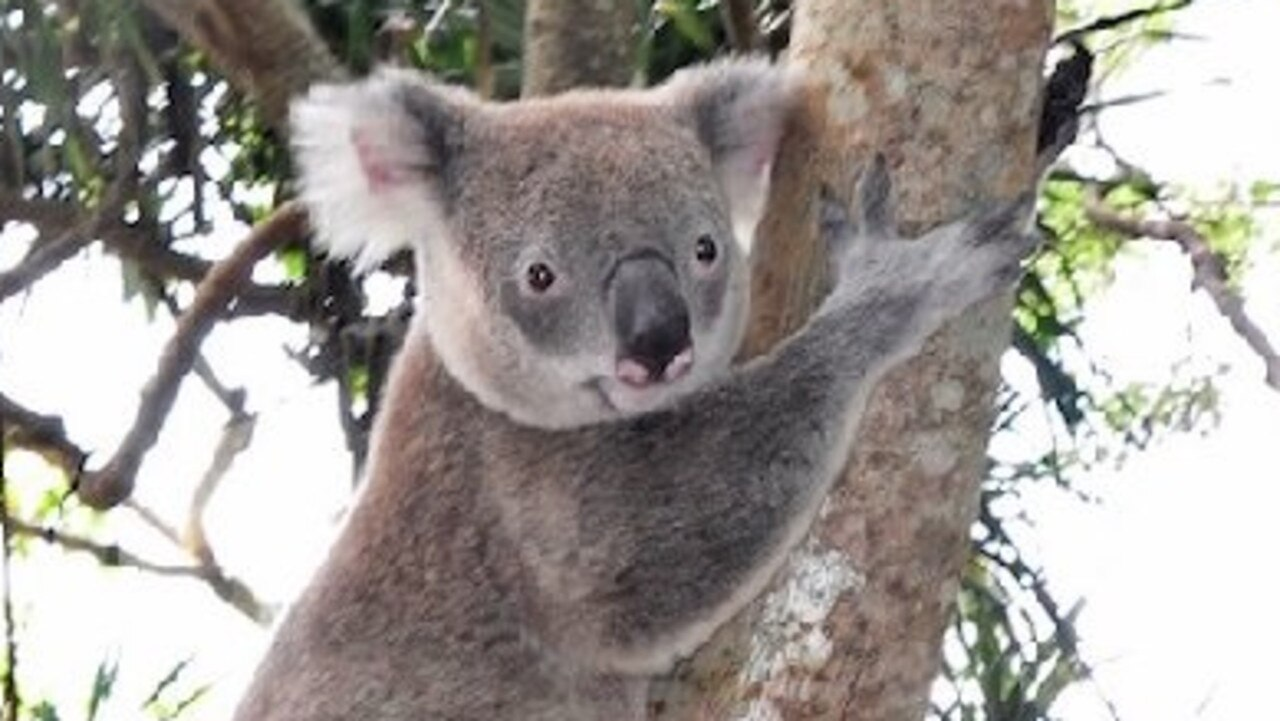 Koalas are among the wildlife that will benefit if local residents make an effort to care for our bushland.