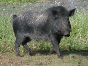 Feral pigs plague city after big wet, posing risk to motorists