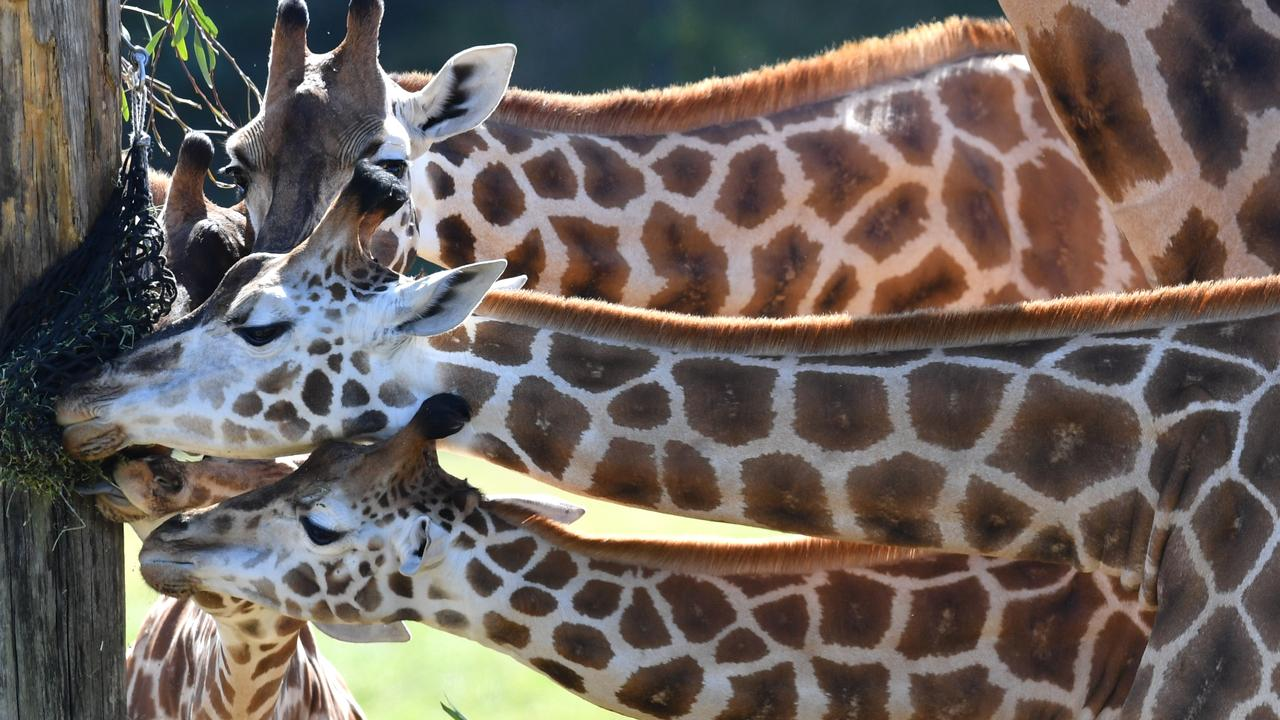 BIRTHDAY GIRL: Sophie (bottom) the giraffe is seen feeding with members of her herd on her first birthday at Australia Zoo in Beerwah. Photo: Darren England