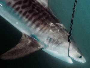 State fights to keep controversial shark cull