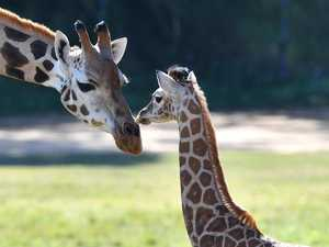 Smallest giraffe reaches new heights with herd