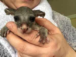 Disease could be behind spike in region's possum rescues