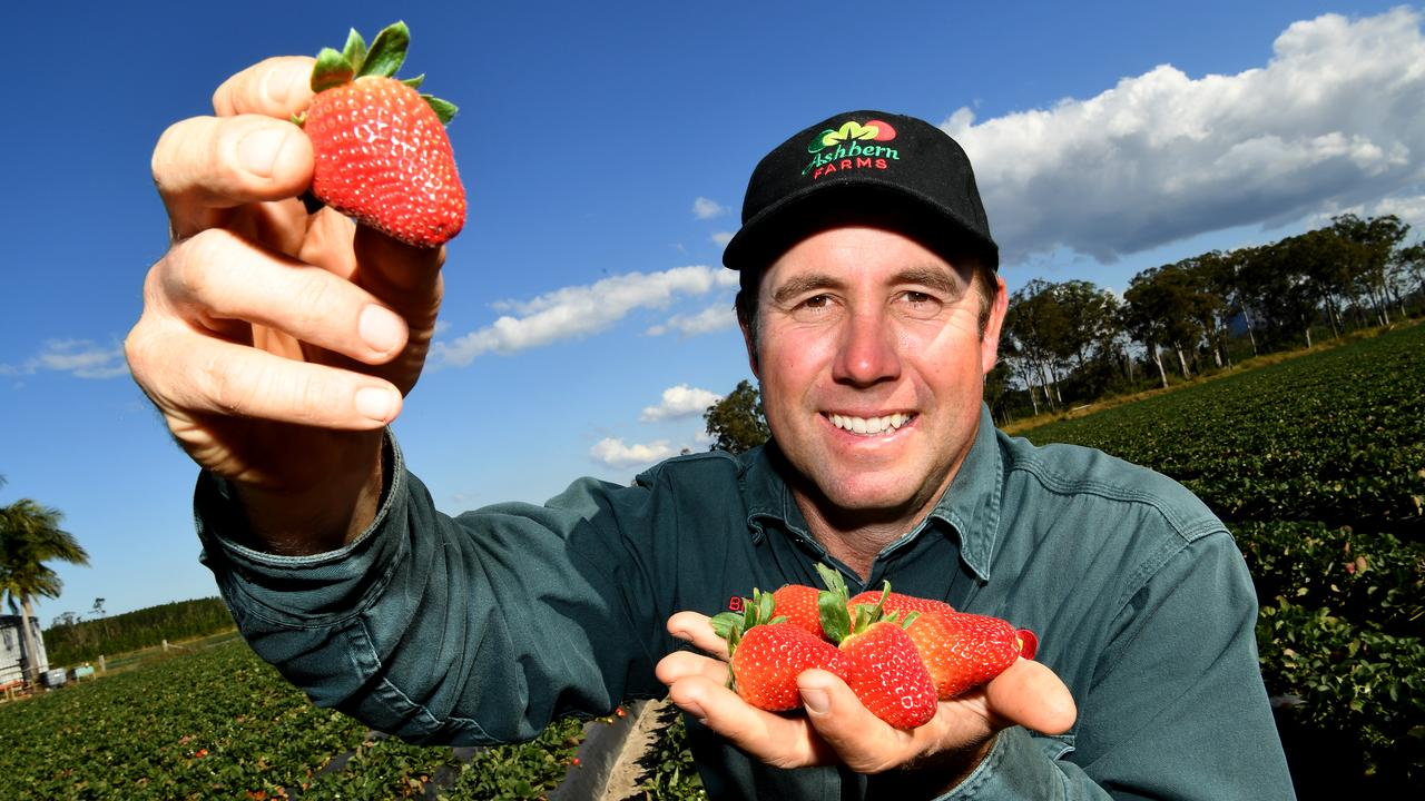 A trial of Red Rhapsody strawberries in six casinos in Macau went well, and hopefully will open up export market for local growers. Brendan Hoyle from Ashbern Farms is pleased with the strawberry season. Photo Warren Lynam