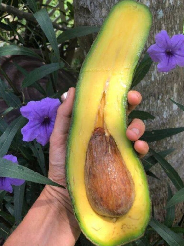 At that size, the avocado's rabid millennial fanbase might need a bigger knife — and some Band-Aids, too. Source: Miami Fruit