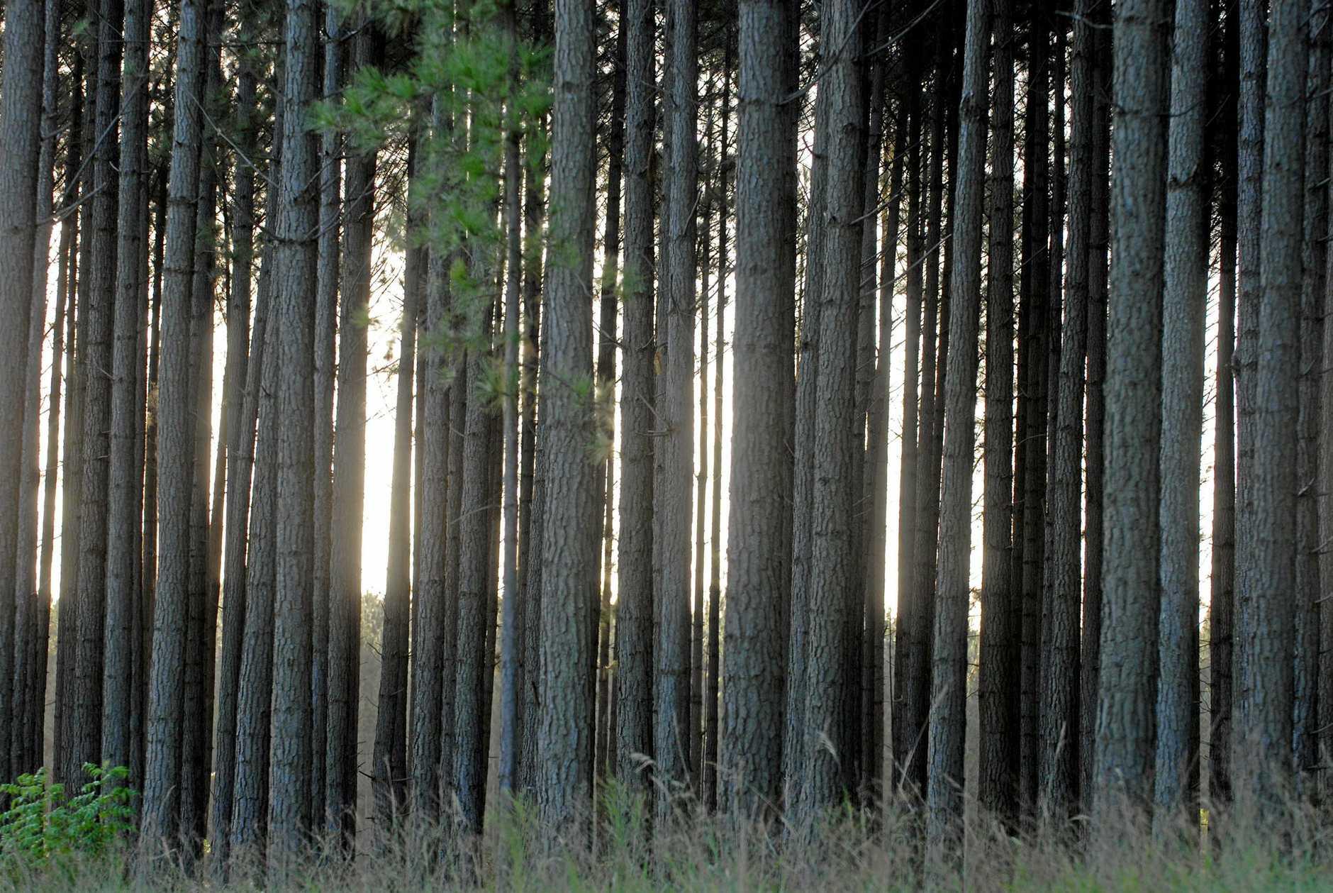 Hoop pine.