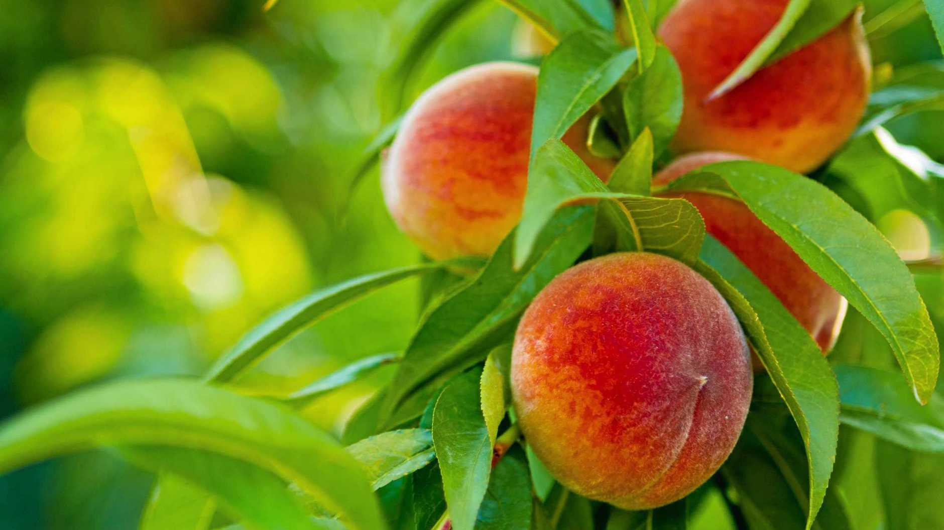 If you want to grow peaches or nectarines in coastal areas north of about Port Macquarie, you need to plant 'low chill' varieties.