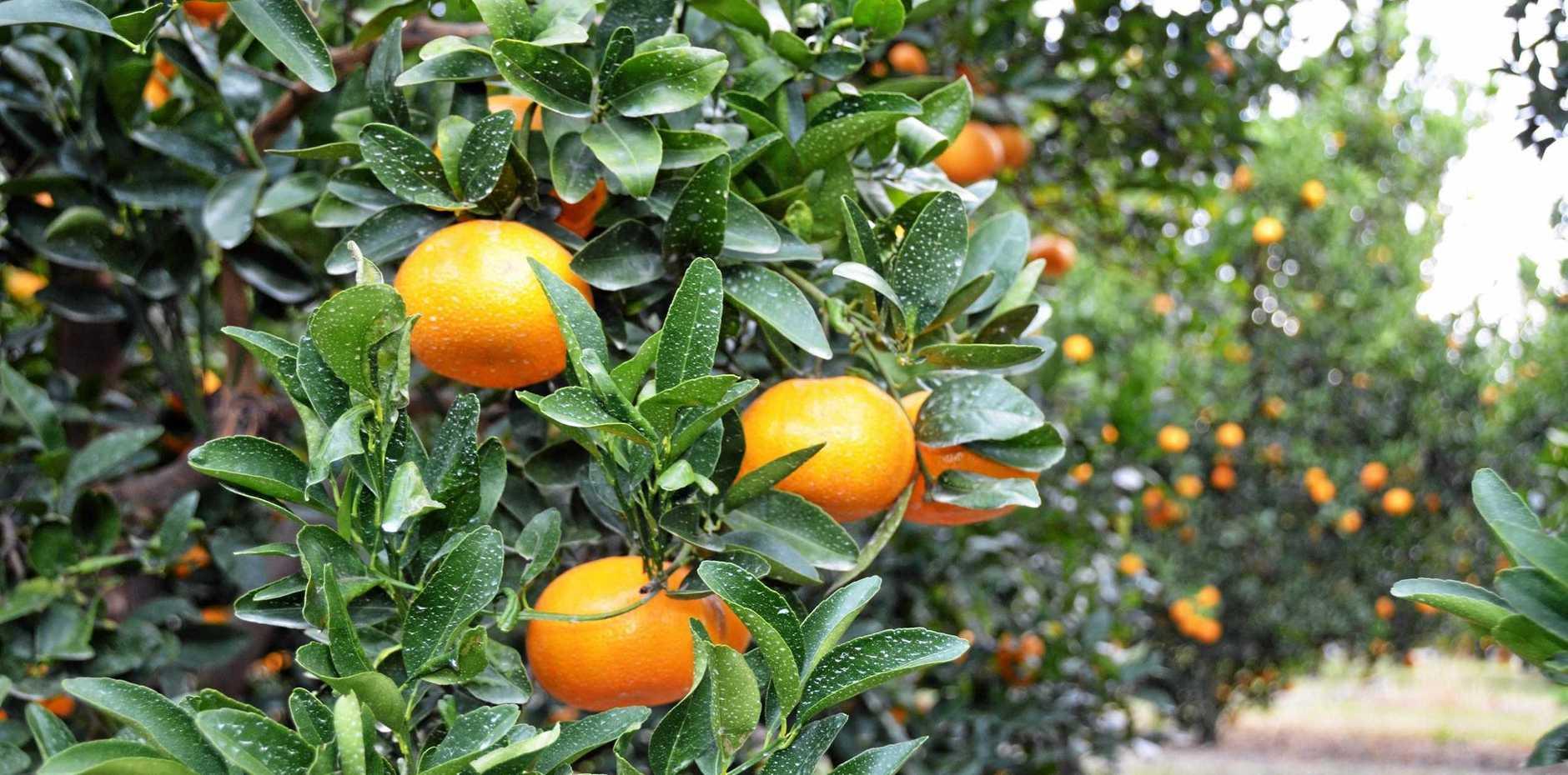 FREE OF DISEASE: North Burnett Murcott mandarins.