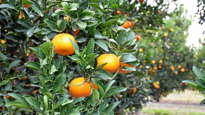 Sniffer dogs soon to be on the hunt for citrus canker