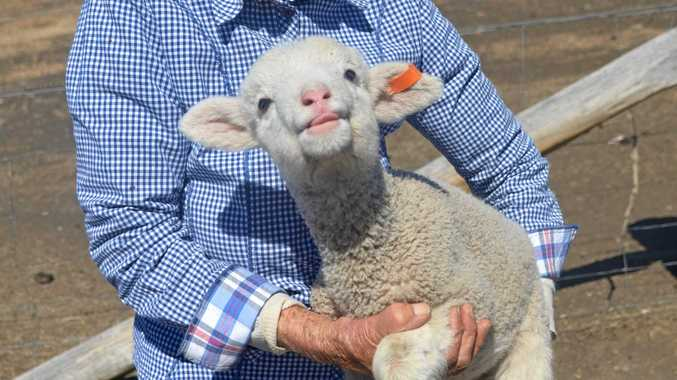 Bumper lamb births lift spirits in dry times