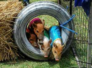 From pig races to weather: 13 things to do this week