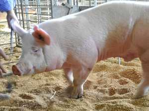 PROJECT APPROVED: New piggery a first for our pork industry