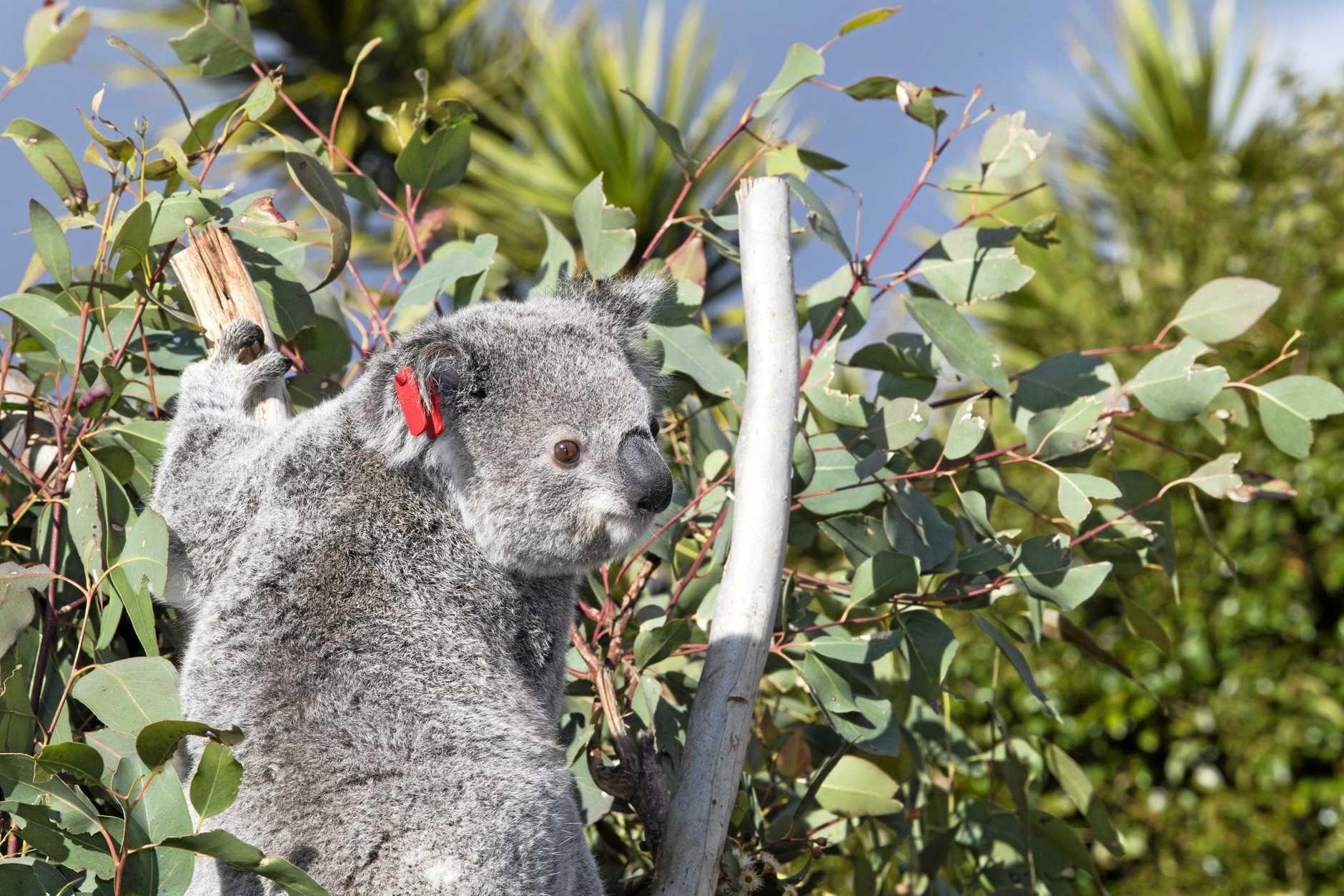 Koalas are under threat on the Fraser Coast.