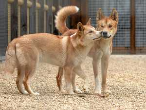 Qld dingo warning: don't feed the dogs