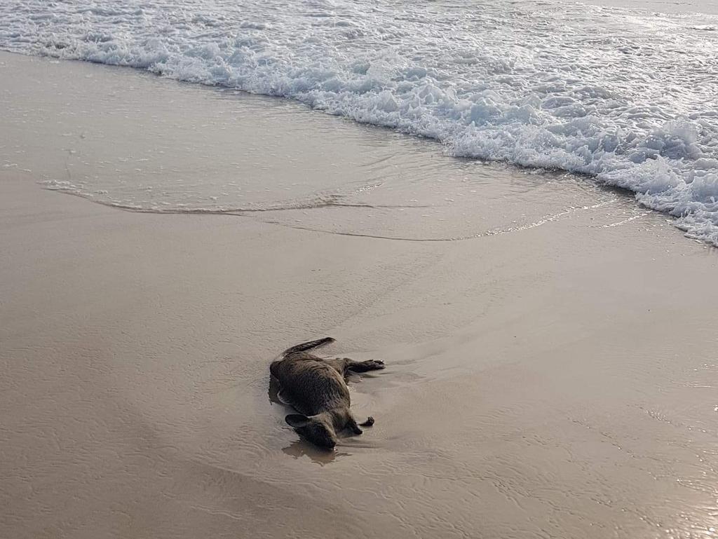 Dead kangaroo north end of Bribie.