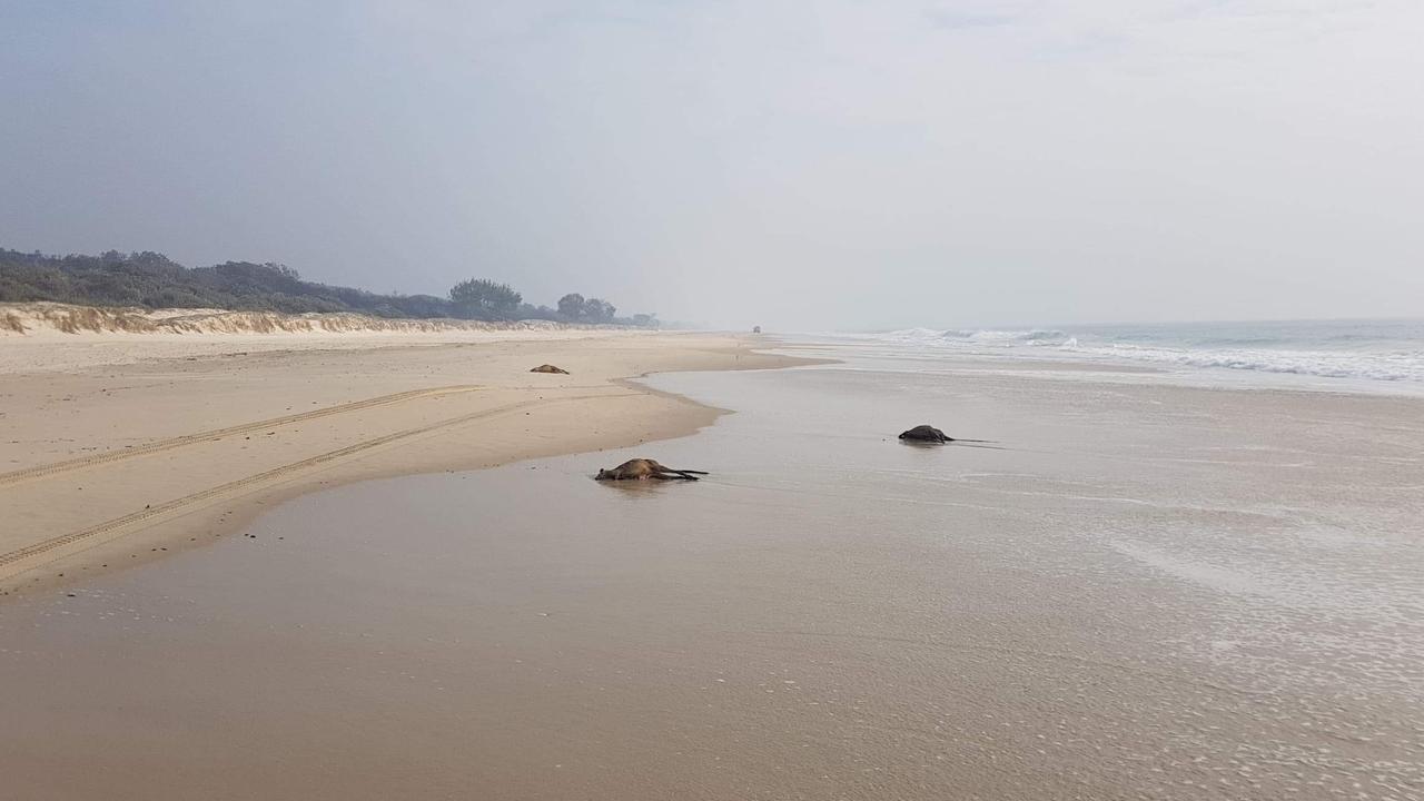 Multiple dead kangaroos sprawled across Bribie beaches with bushfire haze in the background.