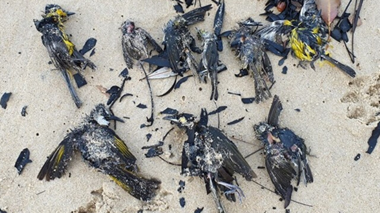 More than 40 dead birds washed up at Currimundi on Saturday appeared to be badly burnt from Bribie Island fires. Credit: Leisl Born.