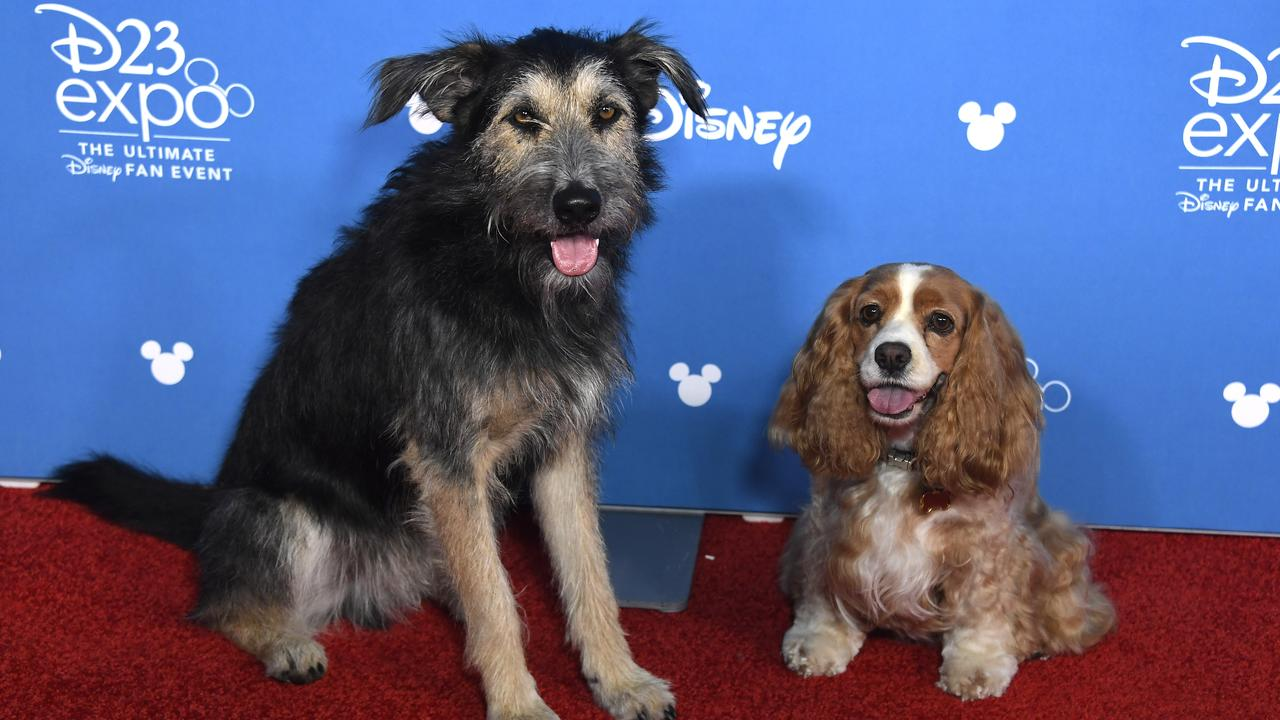 Lady and the Tramp attend D23 Disney + event at Anaheim Convention Center on August 23, 2019 in Anaheim, California. (Photo by Frazer Harrison/Getty Images)