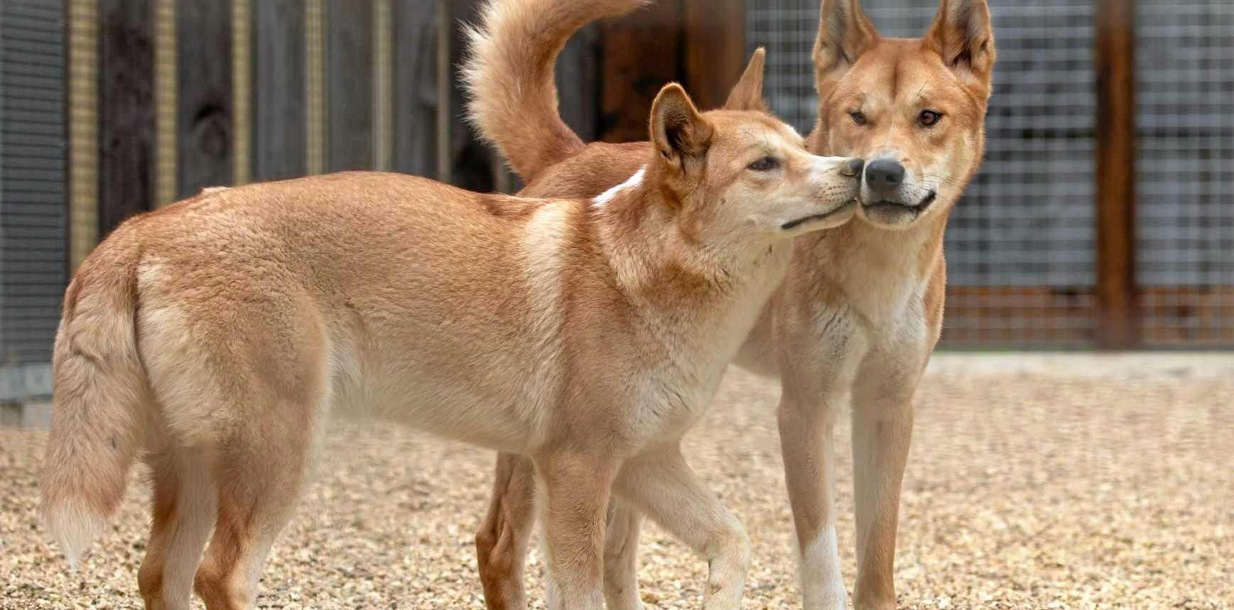 The dingo pair at Hamerton Zoo.