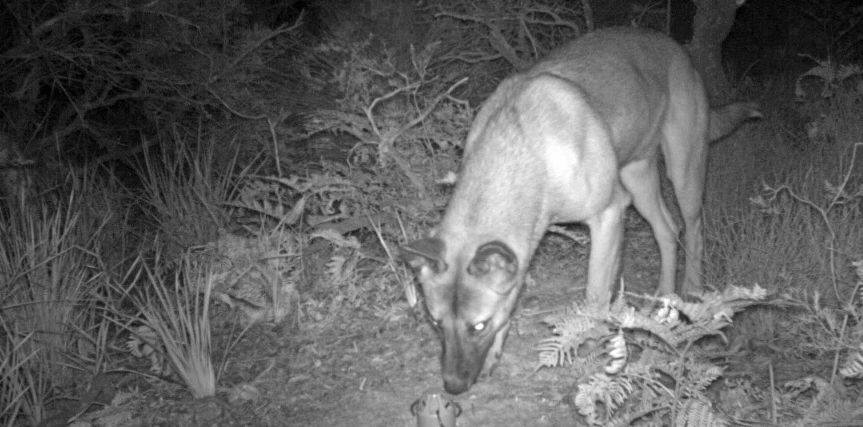 A wild dog believed to be responsible for killing a number of wallabies in Arakwal National Park and Cape Byron State Conservation Area.