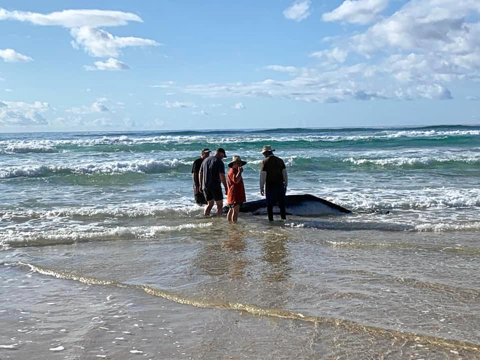 SOCIAL MEDIA IMAGE DISCUSS USE WITH YOUR EDITOR - Fraser Island residents and environment officers are racing against time to save a whale beached on the Island's east side.