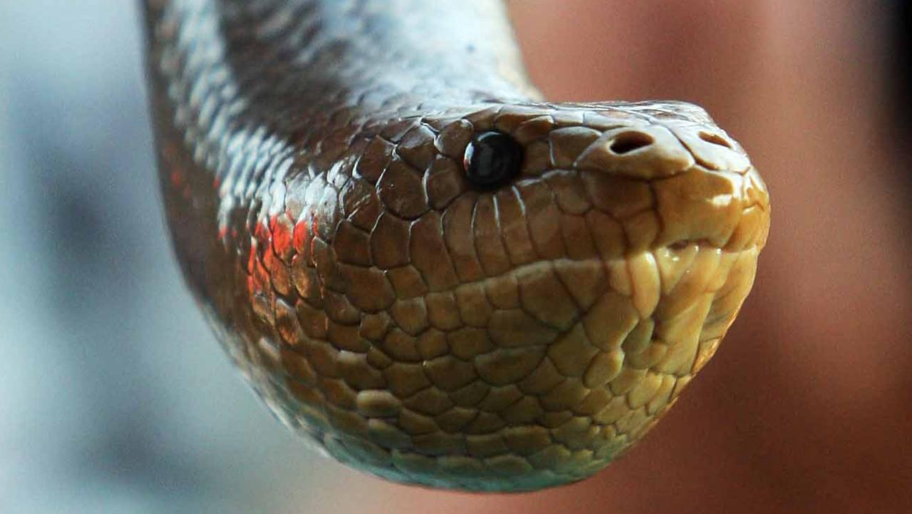 FILE PHOTO: A woman was hospitalised after reportedly being bitten by a snake at Wamuran. Pic: Lindsay Molle