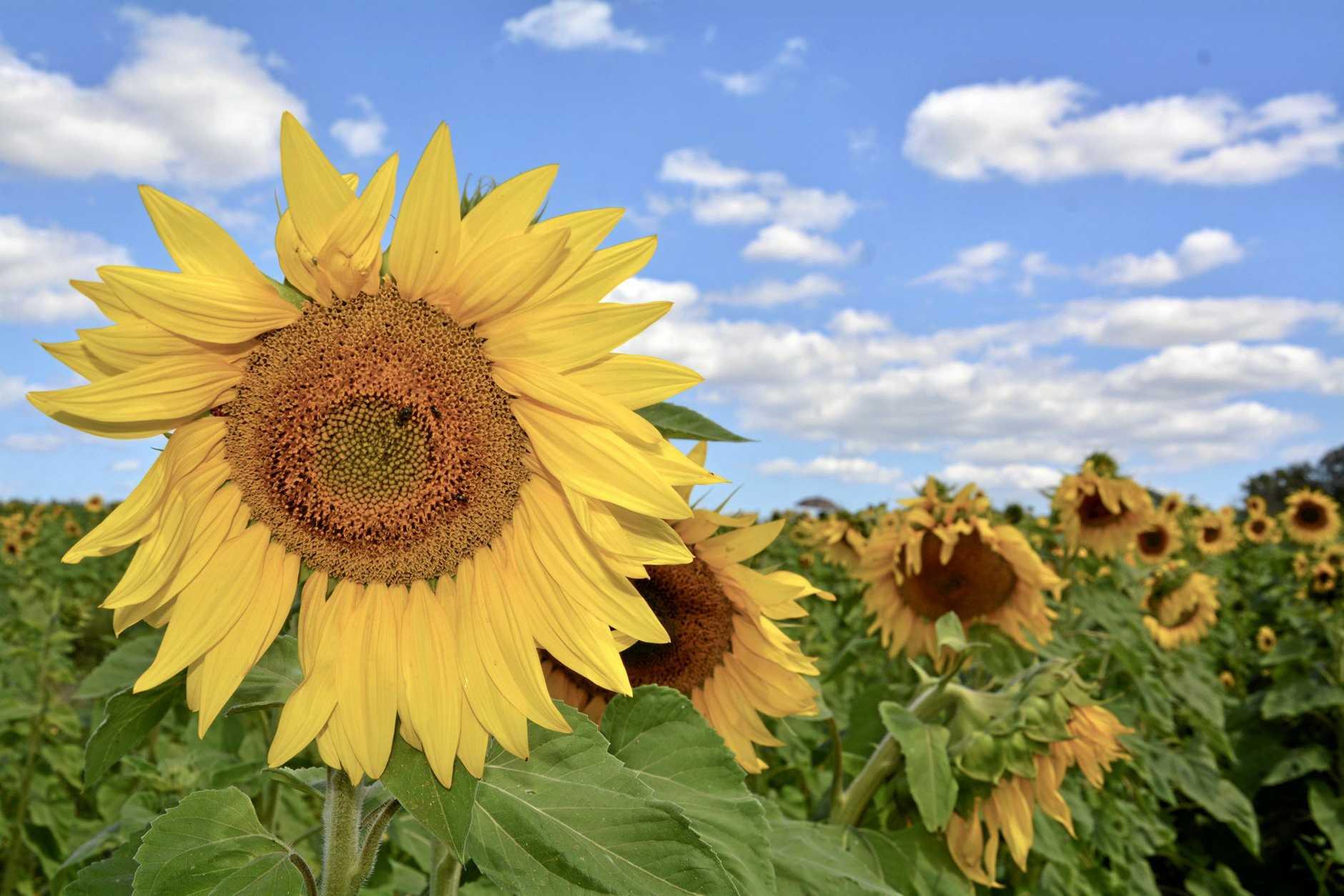 A wander through the sunflower farm at Marian.