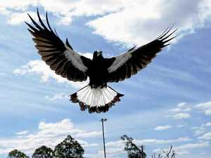 MAP: Where magpies are swooping on the Northern Rivers