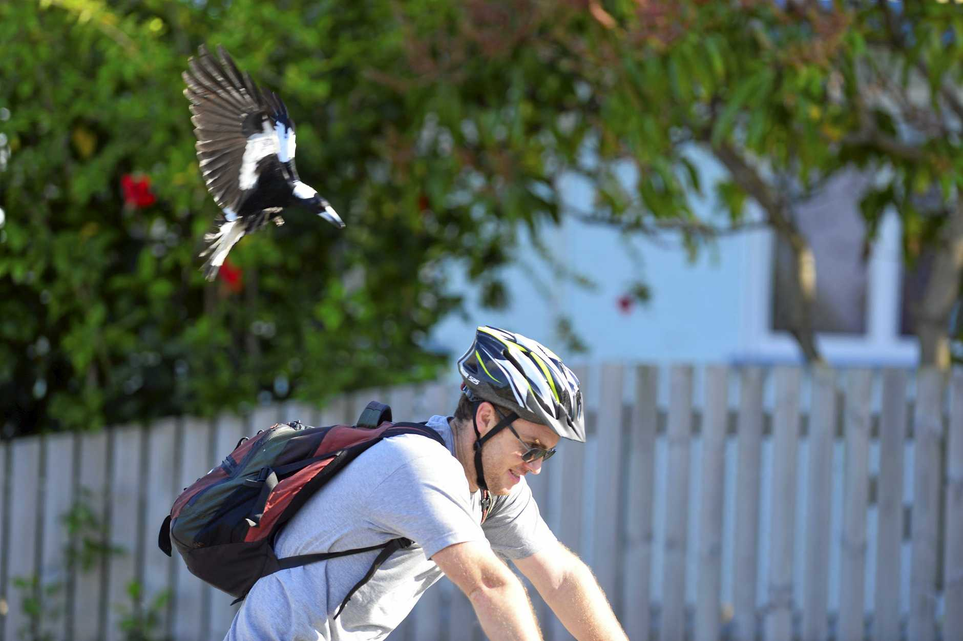 Magpie season is under way, with swooping becoming more frequent in the Mackay, Isaac and Whitsunday region.