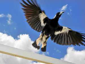 Magpies feeling peckish: swooping hotspots revealed