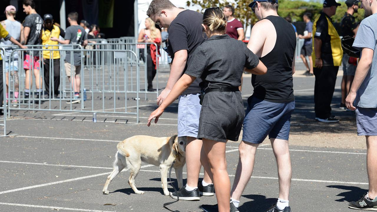 Sniffer dogs are a common sight at music festivals in Sydney.