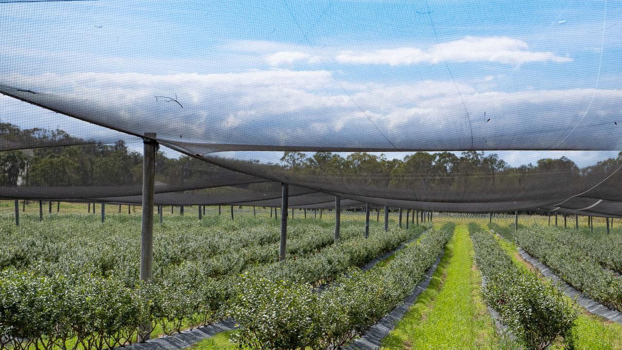A blueberry farm north of Coffs Harbour.