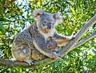 FIELD DAY: Lismore City Council is inviting farmers, graziers and other landholders on the Wilsons and Richmond floodplains to a free field day about living with koalas on rural lands.