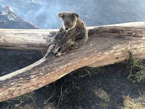 Hundreds of koalas feared dead in blaze