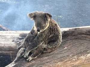 Koala mum found laying on top of baby