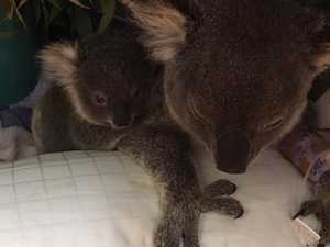 Brave koala mother 'touch and go'